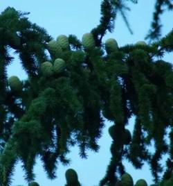Cedar of Lebanon (Cedrus libani) potted tree