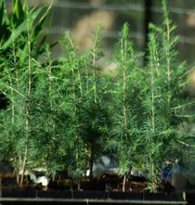 Cedar, Atlantic (Cedrus atlantica) potted tree
