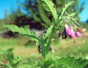 Comfrey, True (Symphytum officinalis) potted plant, organic