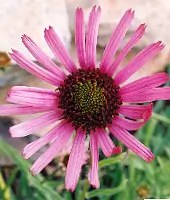 Echinacea tennesseensis potted plant, organic