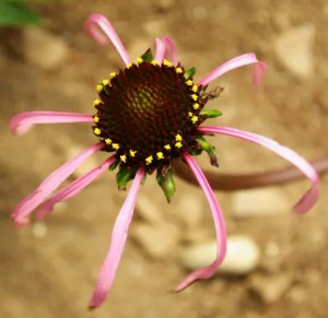 Echinacea laevigata (Smooth Purple Coneflower) potted plant, Organic