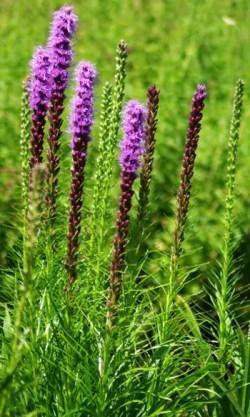 Gayfeather* (Liatris spicata) potted plant, organic