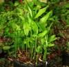 Ginger, Myoga (Zingiber mioga) potted plant, organic