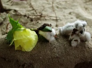 Cotton, Tree (Gossypium arboreum) potted plant, organic