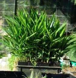 Galangal, Greater (Alpinia galanga) potted plant, organic