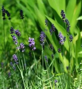 Lavender, Hidcote (Lavandula angustifolia) potted plant, organic ON SALE!
