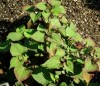 Chameleon plant (Houttuynia cordata) potted plant, organic
