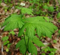 Goldenseal (Hydrastis canadensis) potted plant, organic