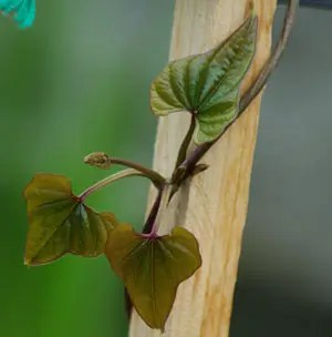 Wild Yam, Japanese (Dioscorea japonica) potted plant, organic