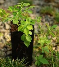 Jiao-gu-lan, Japanese (Gynostemma pentaphyllum) potted vine, organic