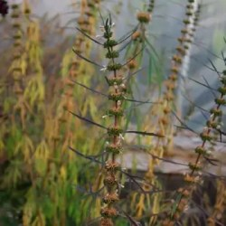 Motherwort, Siberian (Leonurus sibericus) plant, organic