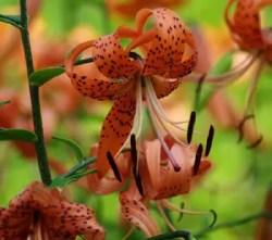 Lily, Tiger* (Lilium tigrinum) potted plant, organic