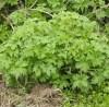Motherwort, Official (Leonurus cardiaca) potted plant, organic