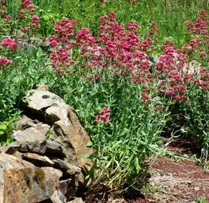 Valerian, Red (Centranthus ruber) potted plant, organic