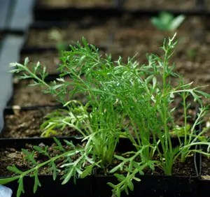 Maca (Lepidium peruvianum) potted plant, organic