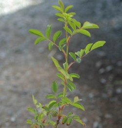 Rose, Virginia (Rosa virginiana) potted bush, organic