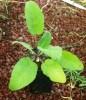 Sage, Kashmir (Salvia hians) potted plant, organic