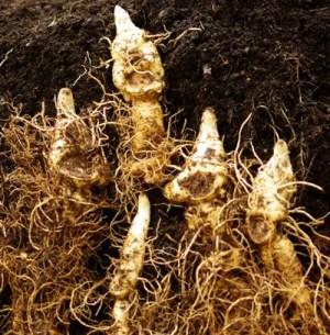 Solomon's Seal, Giant (Polygonatum biflorum var. commutatum), potted plant, organic