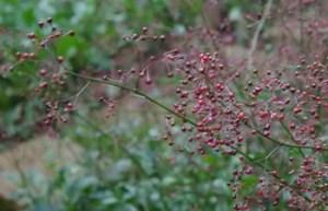Fame Flower (Talinum paniculatum), potted plant, organic