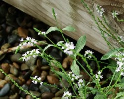Vervain, European (Verbena officinalis) potted plant, organic