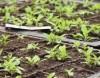 Wilde Dagga (Leonotus leonurus), potted plant, organic
