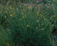 Agrimony* (Agrimonia eupatoria) potted plant, organic
