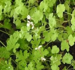 """Geranium, Scented """"Nutmeg"""" (Pelargonium fragrans) potted plant, organic"""