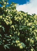 Hops (Humulus lupulus) vine, organic (not available to WA or ID states)