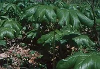 Mayapple, American (Podophyllum peltatum) potted plant, organic