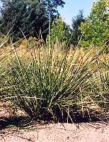 Vetiver (Vetiveria zizanoides) potted plant, organic