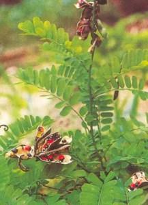 Jequirity (Abrus precatorius), packet of 20 seeds