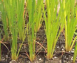 Calamus (Acorus calamus var. americanus), packet of 100 seeds