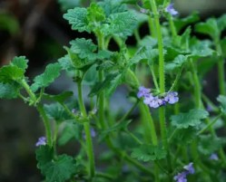 Alehoof (Glechoma hederacea), packet of 30 seeds, organic