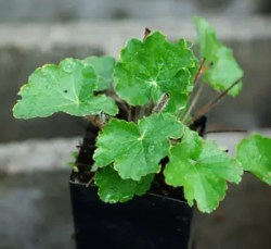 Alum Root (Heuchera richardsonii), packet of 100 seeds