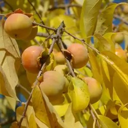 Persimmon, Wild Form (Diospyros virginiana), packet of 10 seeds, organic