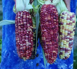 Corn, Anasazi Sweet (Zea mays), packet of 100 seeds, organic
