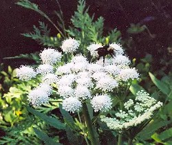 Angelica, Shining (Angelica arguta), packet of 50 seeds