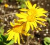 Arnica montana, packet of 50 seeds, organic