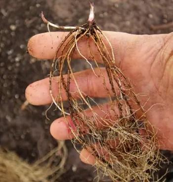 ARNICA CHAMISSONIS 50 seeds