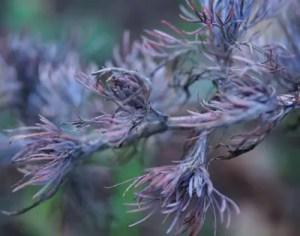Wormwood, Redstem (Artemisia scoparia), packet of 50 seeds