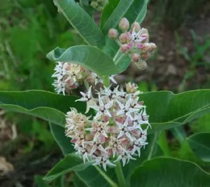 Milkweed, Showy (Asclepias speciosa), packet of 30 seeds