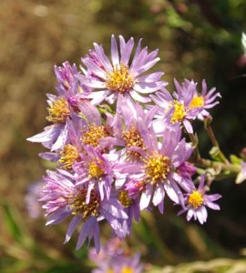 Aster, Purple (Aster tataricus), packet of 50 seeds