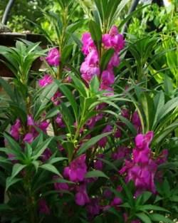 Balsam, Chinese (Impatiens balsamina), packet of 30 seeds, organic