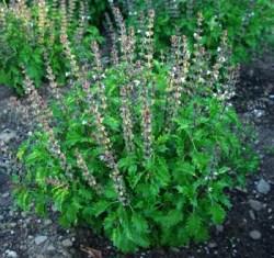 Basil, Mrihani (Ocimum basilicum), packet of 30 seeds, organic