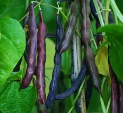 Bean, Cherokee Trail of Tears (Phaseolus vulgaris), packet of 20 seeds, organic