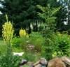 Black Cohosh Live Root (Cimicifuga racemosa), organic