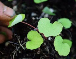 Bloodroot (Sanguinaria canadensis), packet of 50 seeds