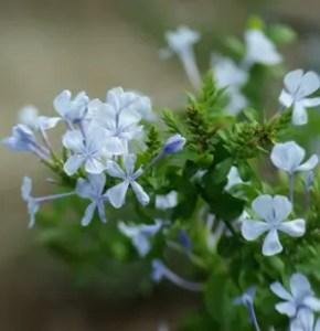 Plumbago, Blue (Plumbago capensis), packet of 7 seeds