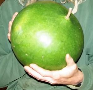Gourd, Bushel Basket (Lagenaria siceraria), packet of 10 seeds, organic