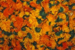 Calendula, Mixed (Calendula officinalis), packet of 50 seeds, organic